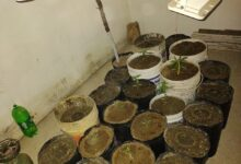 Photo of SECUESTRAN 14 PLANTAS DE MARIHUANA EN SAN MARTÍN